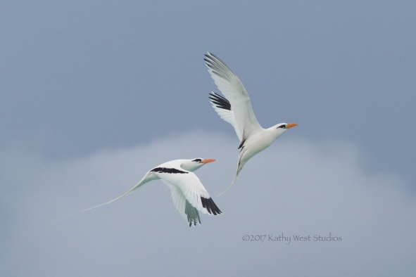 White-tailed tropicbird (Phaethon lepturus) in courtship flight