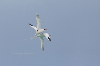 White-tailed tropicbird (Phaethon lectures) in courtship flight ©2017 Kathy West Studios