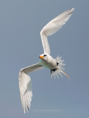 White-tailed tropicbird (Phaethon lectures)