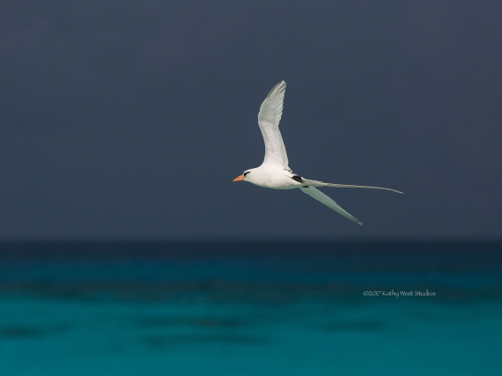 White-tailed tropicbird (Phaethon lepturus) in morning light