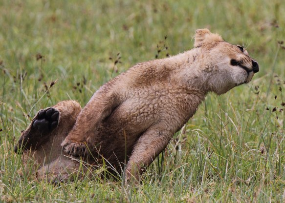 Playful lion cub, Tanzania ©KathyWestStudios