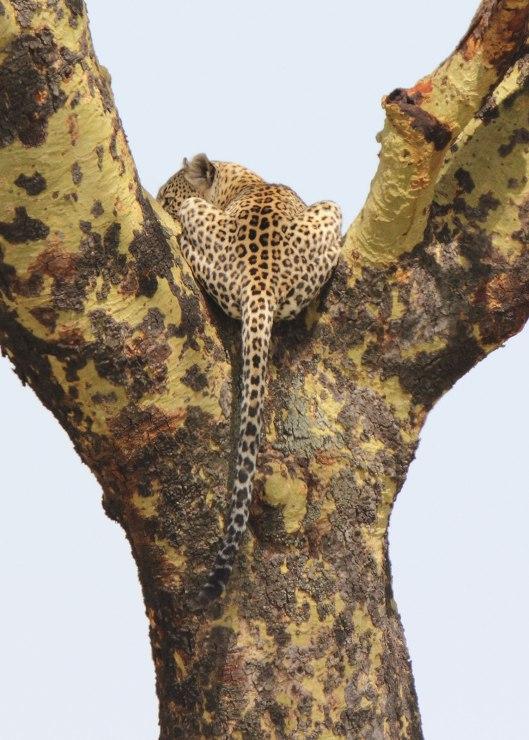 Serengeti leopard, Tanzania ©KathyWestStudios