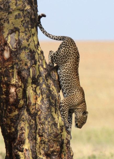 Serengeti leopard descending tree, Tanzania ©KathyWestStudios