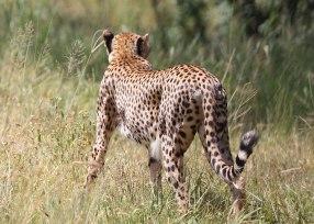 Cheetah hunting, Tanzania ©KathyWestStudios