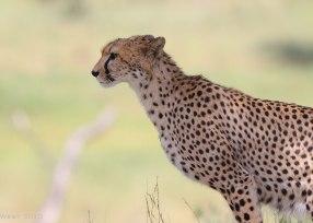 Cheetah portrait, Tanzania ©KathyWestStudios