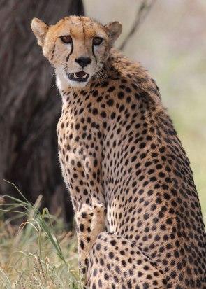 Cheetah female, Tanzania ©KathyWestStudios