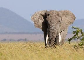 Bull elephant, Tanzania ©KathyWestStudios