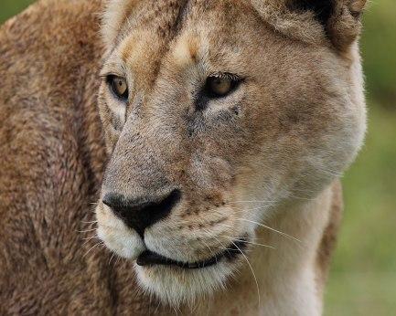 Lioness portrait, Tanzania ©KathyWestStudios