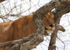 Tree lioness, Tanzania ©KathyWestStudios