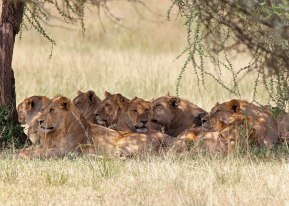 Bachelor lions in shade, Tanzania ©KathyWestStudios