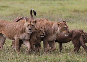 Lionesses and cubs, Tanzania ©KathyWestStudios