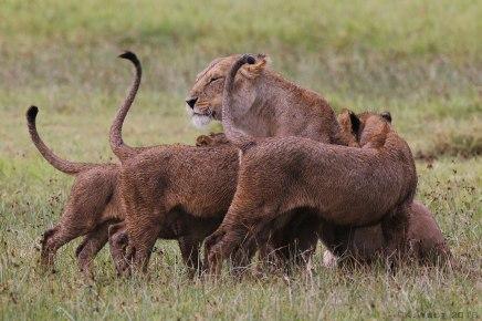 Cubs greet lioness, Tanzania ©KathyWestStudios
