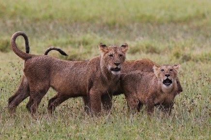 Lion cub roar, Tanzania ©KathyWestStudios