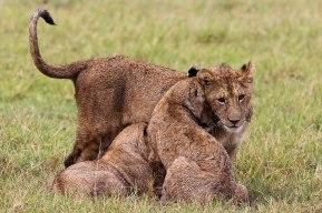 Lion cubs, Tanzania ©KathyWestStudios