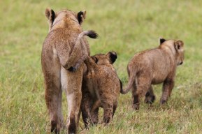 Lioness and cubs, Tanzania ©KathyWestStudios