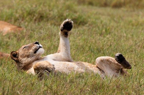 Playful lioness, Tanzania ©KathyWestStudios