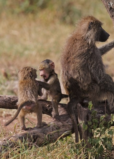 Baboon infants playing, Tanzania ©KathyWestStudios