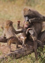 Female baboon scolding playful infant