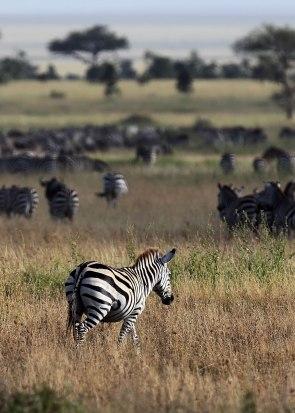 Zebra migration, Tanzania ©KathyWestStudios