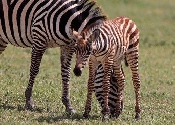 Newborn zebra foal, Tanzania ©KathyWestStudios