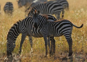 Zebra and foal, Tanzania ©KathyWestStudios