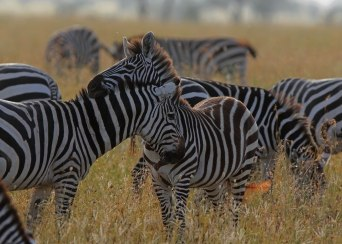 Zebra pair, Tanzania ©KathyWestStudios