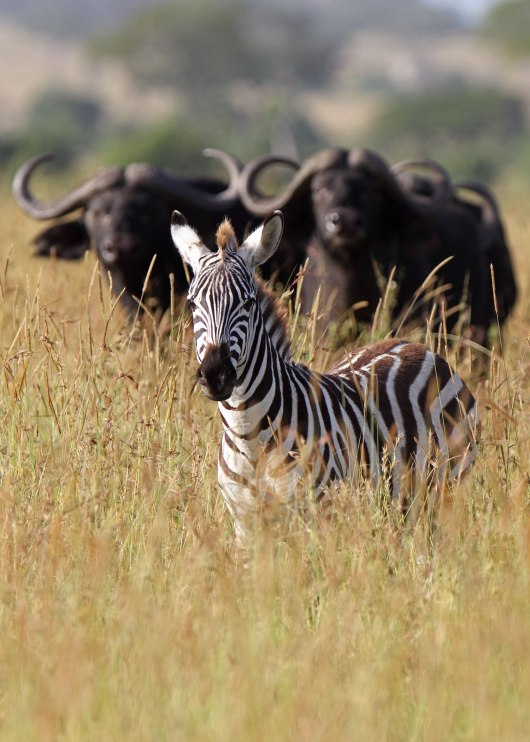 Zebra and water buffalo, Tanzania ©KathyWestStudios