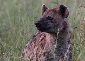 Spotted hyena, Tanzania ©KathyWestStudios