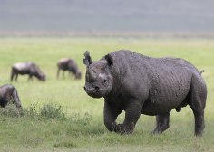 Rhino juvenile, Tanzania