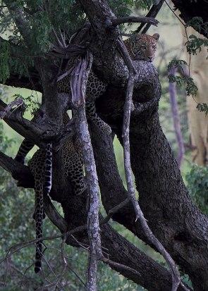 Leopard pair, Tanzania ©KathyWestStudios