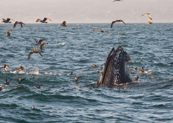 Humpback whale ©KathyWestStudios