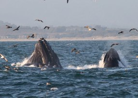 Lunge feeding humpback, Monterey ©KathyWestStudios