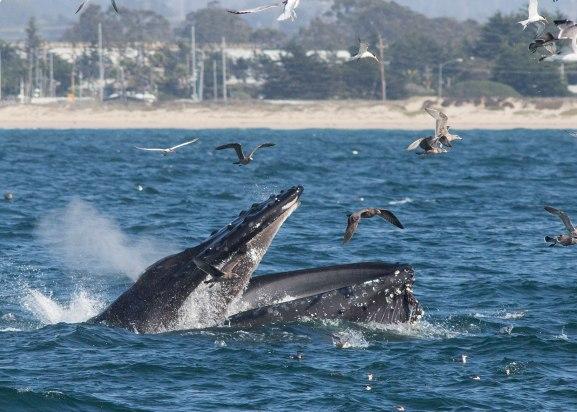 Lunge feeding humpback ©KathyWestStudios