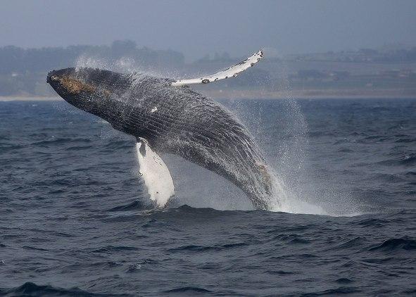 Breaching humpback, Monterey ©KathyWestStudios