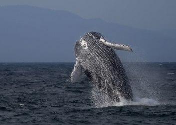Breaching humpback ©KathyWestStudios