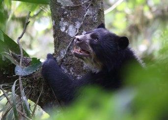 Spectacled bear, Ecuador ©KathyWestStudios