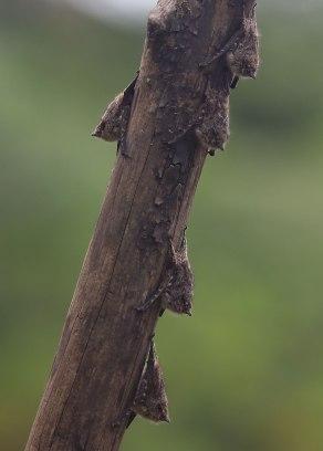 Roosting bats, Tiputini Biodiversity Station ©KathyWestStudios