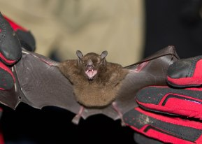Fruit bat being measured for study ©KathyWestStudios