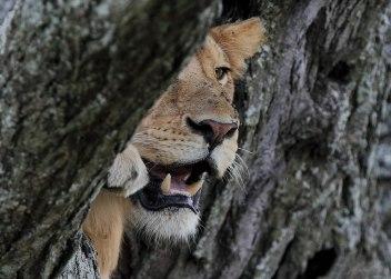 Immature lion, Tanzania ©KathyWestStudios