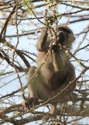 Baboon breakfast, Tanzania ©KathyWestStudios