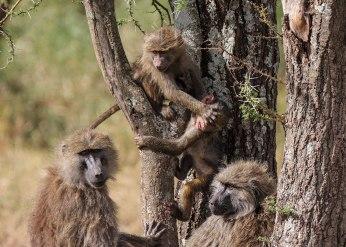 Baboon infant playdate, Tanzania ©KathyWestStudios