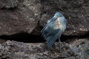 Lava heron ©KathyWestStudios