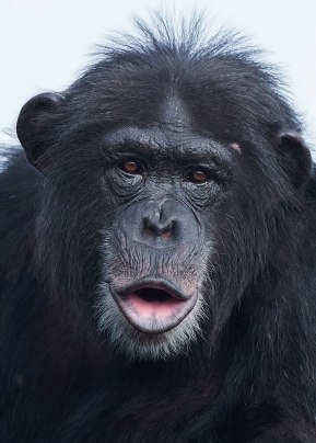 Chimpanzee portrait II, National Center for Chimpanzee Care, Texas. ©KathyWestStudios