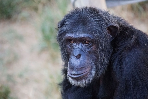chimpanzee portrait I