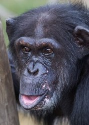 Chimpanzee portrait, National Center for Chimpanzee Care, Texas. ©KathyWestStudios