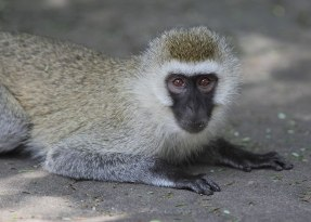 Vervet monkey, Tanzania ©KathyWestStudios