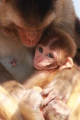 NY Times, cover photo for lead story, Science section, November 6, 2014. Rhesus monkey female and infant.