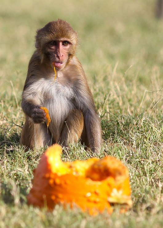 Rhesus monkey juvenile and pumpkin. California National Primate Research Center breeding colony, UC Davis, California. ©KathyWestStudios.
