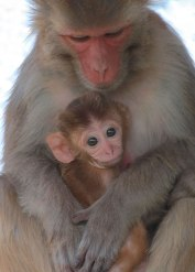 Rhesus monkey female and infant. Captive. California National Primate Research Center breeding colony, UC Davis, California. ©KathyWestStudios.