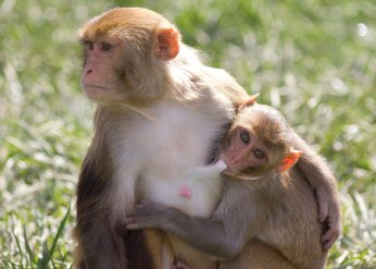 Rhesus monkey female nursing older juvenile ©KathyWestStudios